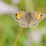 Myrtil (Maniola jurtina) - papillons de jour de la forêt de Fontainebleau