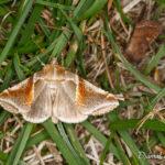 Noctuelle ratissée (Habrosyne pyritoides) - papillons de nuit de la forêt de Fontainebleau