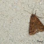 Noctuelle trapue (Agrotis bigramma) - papillons de nuit de la forêt de Fontainebleau