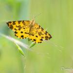 Panthère (Pseudopanthera macularia) - papillons de nuit de la forêt de Fontainebleau