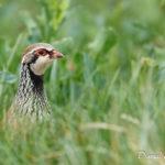 Perdrix rouge (Alectoris rufa) - Oiseau de la forêt de Fontainebleau