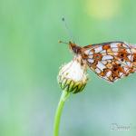 Petit collier argenté (Boloria selene) - papillons de jour de la forêt de Fontainebleau