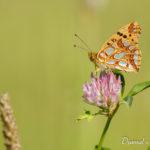 Petit nacré (Issoria lathonia) - papillons de jour de la forêt de Fontainebleau