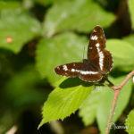 Petit sylvain (Limenitis camilla) - papillons de jour de la forêt de Fontainebleau