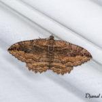 Phalène du nerprun (Philereme transversata) - papillons de nuit de la forêt de Fontainebleau