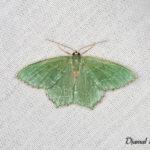 Phalène sillonée (Hemithea aestivaria) - papillons de nuit de la forêt de Fontainebleau
