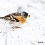 Pinson du nord (Fringilla montifringilla) - Oiseau migrateur de la forêt de Fontainebleau