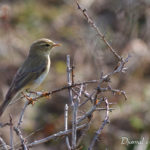 Pouillot fitis (Phylloscopus trochilus) - Oiseau migrateur de la forêt de Fontainebleau