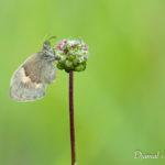 Fadet commun (Coenonympha pamphilus) - papillons de jour de la forêt de Fontainebleau
