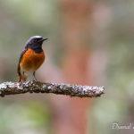 Rougequeue à front blanc (Phoenicurus phoenicurus) - Oiseau de la forêt de Fontainebleau