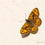 Mégère (Lasiommata megera) - papillons de jour de la forêt de Fontainebleau