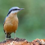 Sittelle torchepot (Sitta europaea) - Oiseau de la forêt de Fontainebleau