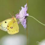 Souci (Colias crocea) - papillons de jour de la forêt de Fontainebleau