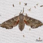 Sphinx du peuplier (Laothoe populi) - papillons de nuit de la forêt de Fontainebleau