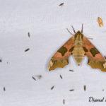 Sphinx du tilleul (Mimas tiliae) - papillons de nuit de la forêt de Fontainebleau