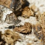 Sylvandre (Hipparchia fagi) - papillons de jour de la forêt de Fontainebleau
