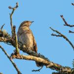 Torcol fourmilier (Jynx torquilla) - Oiseau migrateur de la forêt de Fontainebleau