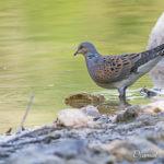 Tourterelle des bois (Streptopelia turtur) - Oiseau de la forêt de Fontainebleau