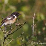 Tarier pâtre (Saxicola rubicola) - Oiseau de la forêt de Fontainebleau