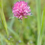 Trèfle des prés - Fleurs sauvages de la forêt de Fontainebleau