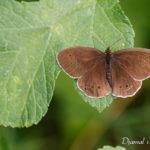 Tristan (Aphantotus hyperantus) - papillons de jour de la forêt de Fontainebleau