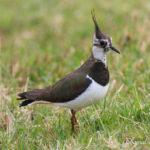 Vanneau huppé (Vanellus vanellus) - Oiseau migrateur de la forêt de Fontainebleau