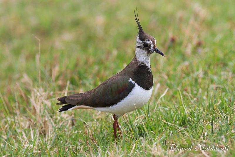 Vanneau hupp vanellus vanellus oiseau de la for t de for Houpette oiseau