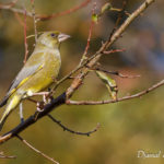 Verdier d'Europe (Chloris chloris) - Oiseau de la forêt de Fontainebleau