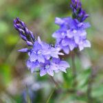 Véronique germandrée - Fleurs sauvages de la forêt de Fontainebleau