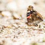Vulcain (Vanessa atalanta) - papillons de jour de la forêt de Fontainebleau