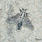 Zeuzère du poirier (Zeuzera pyrina) - papillons de nuit de la forêt de Fontainebleau