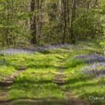 jacinthes des bois (paysages de la forêt de Fontainebleau)