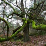 la pieuvre (paysages de la forêt de Fontainebleau)
