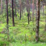 Pinède - paysages de la forêt de Fontainebleau
