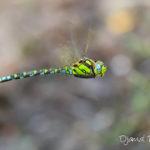 Aeschne bleue (Aeshna cyanea) - Libellule de la forêt de Fontainebleau