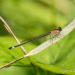 Agrion élégant (Ischnura elegans) - Libellule de la forêt de Fontainebleau