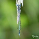 Agrion à large patte mâle - Libellule de la forêt de Fontainebleau