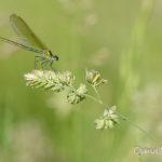 Caloptéryx éclatant femelle (Calopteryx splendens) - Libellule de la forêt de Fontainebleau