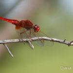 Crocothemis écarlate mâle (Crocothemis erythraea) - Libellule de la forêt de Fontainebleau