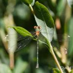 Leste sauvage (Lestes barbarus) - Libellule de la forêt de Fontainebleau