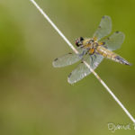 Libellule à 4 tâches (Libellula quadrimaculata) - Libellule de la forêt de Fontainebleau