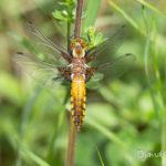 Libellule déprimée femelle (Libellula depressa) - Libellule de la forêt de Fontainebleau