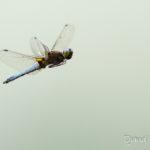 Libellule déprimée mâle (Libellula depressa) - Libellule de la forêt de Fontainebleau