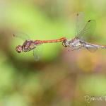 Sympetrum strié (Sympetrum striolatum) - Libellule de la forêt de Fontainebleau