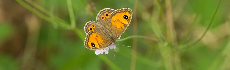 Ariane (Lasiommata maera) - Papillon