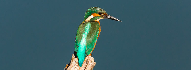 Martin-pêcheur (Alcedo atthis)